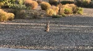 wild rabbit in our yard