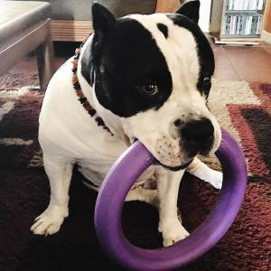 American Bully testing the Puller toy
