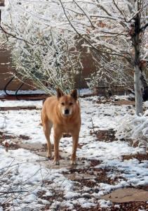 Carolina Dog in spring snow
