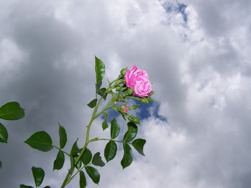 A pink rose with a cloudy sky behind it