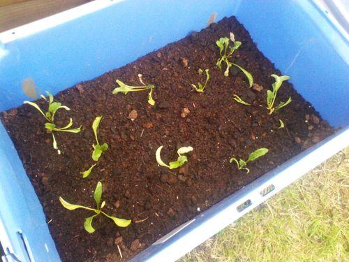 beetroot plugs freshly planted