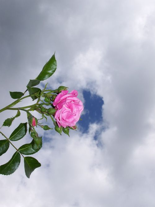 A pretty pink rose with a cloudy sky behind it