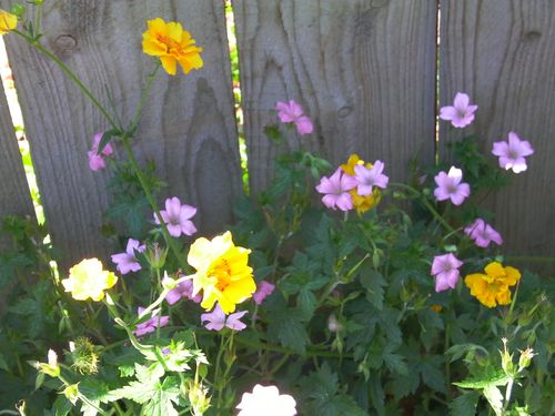 pink and yellow flowers against a fence backdrop
