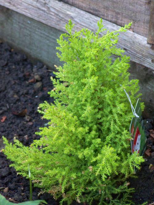 Little conifer plant