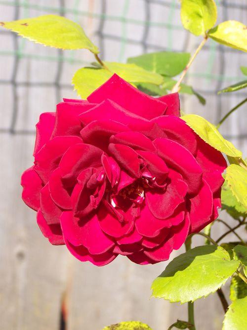 Beautiful rose close up