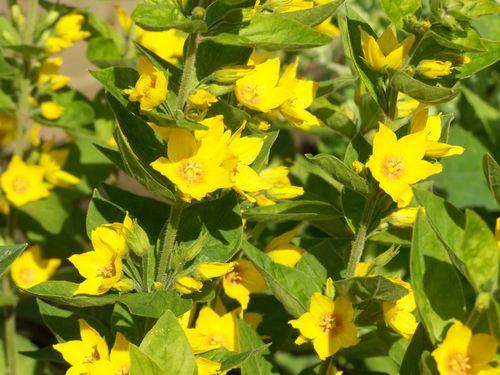 beautiful little yellow flowers in the garden