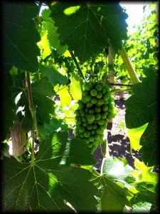 maipo grapes