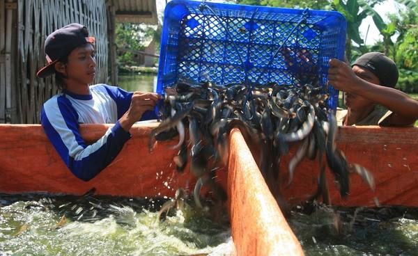 Panen Ikan Lele dari Kolam Terpal