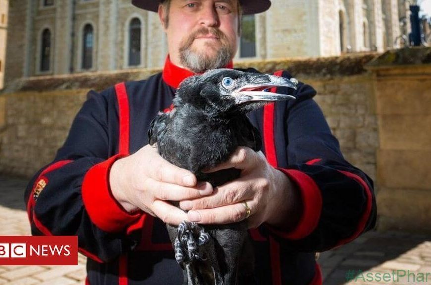 Tower gets first raven chicks in 30 years