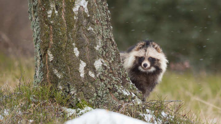 Reports Of Raccoon Dogs Running Loose In Rural England Has Everyone Asking: What The Hell Are They?