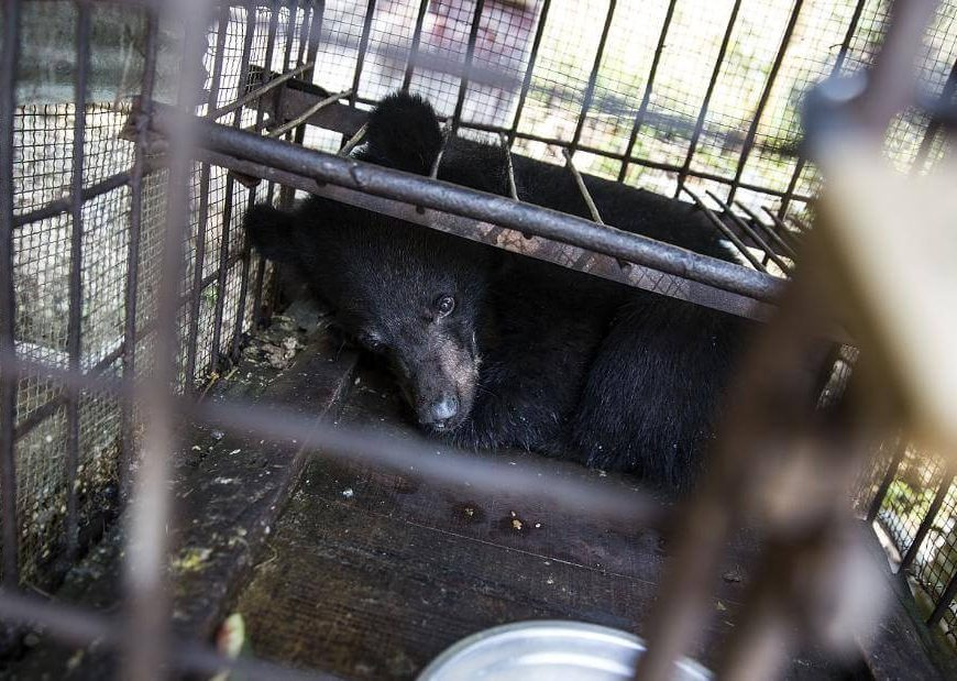 Poacher manhunt exposes murky world of Indian wildlife trafficking, where bear bile is big business