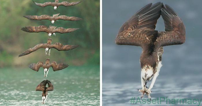 Photographers Photos Of Ospreys In Hunting Mode Show How Calculated Everything In Nature Is