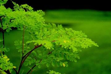 """Moringa oleifera: Proprietà, benefici e utilizzi dell'""""Albero miracoloso"""""""
