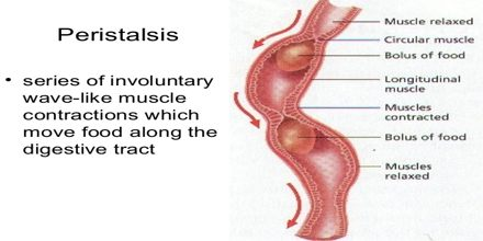 Digestion And Peristalsis Assignment Point