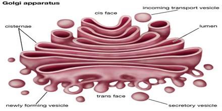 Golgi apparatus - Assignment Point