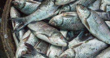 emulsão de peixe