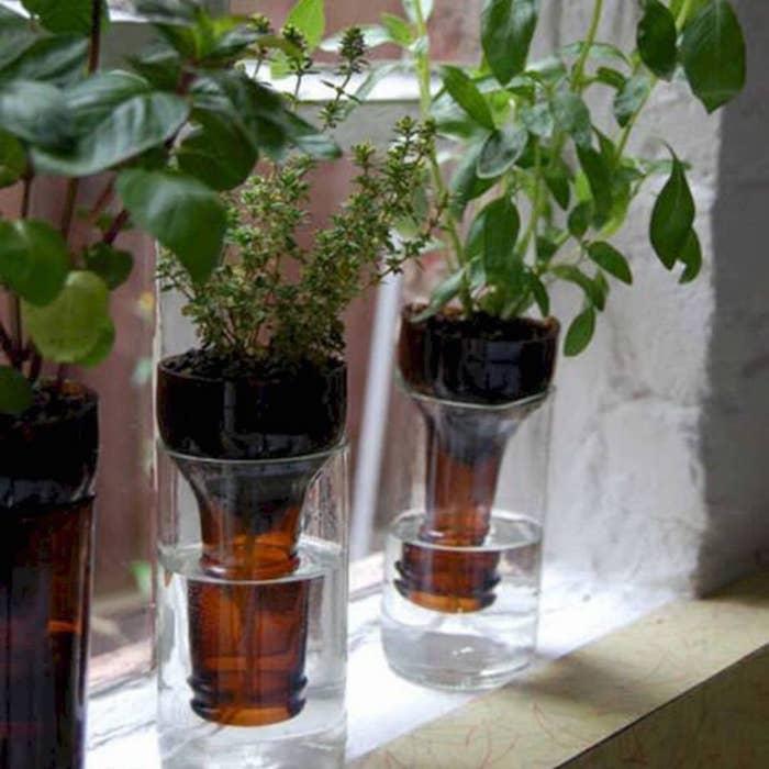 ervas aromaticas na garrafa