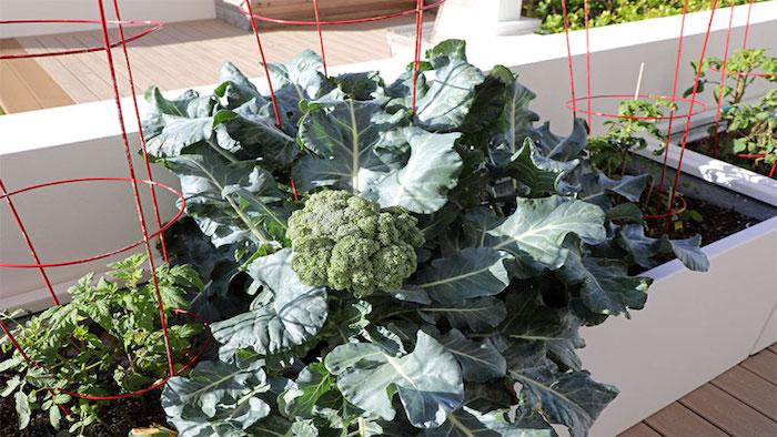 canteiro de brócolis