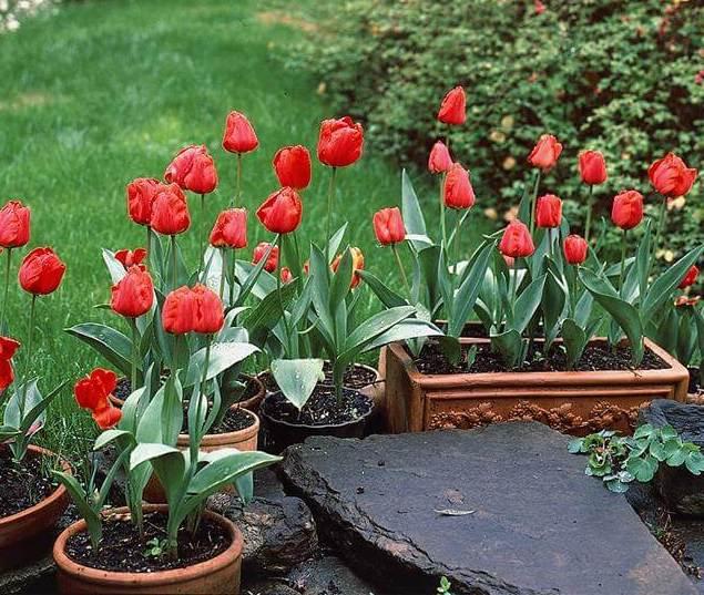 tulipas em vaso