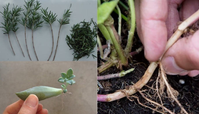 propagar por folha , caule e raiz