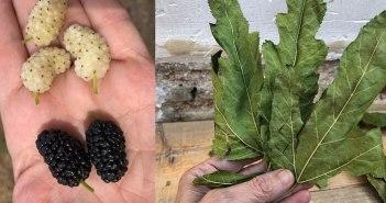folhas de amora e frutas