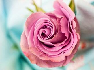 Le Rose per Dono 2018 fiera floro-vivaistica a Santa Maria degli Angeli