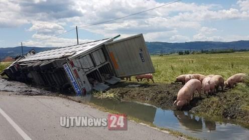 camion-maiali-si-ribalta (13)