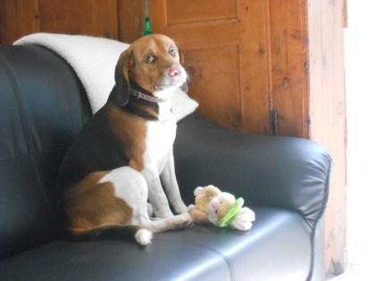 FANFAN - x beagle 8 ans - Asso Galia à Fontenay le Comte (85) Fanfan2