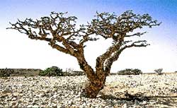 A Frankincense Tree