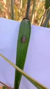 Évolution d'une larve de coccinelle...