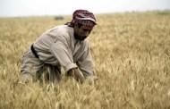 العراق ينتج 3.5 ملايين طن من القمح