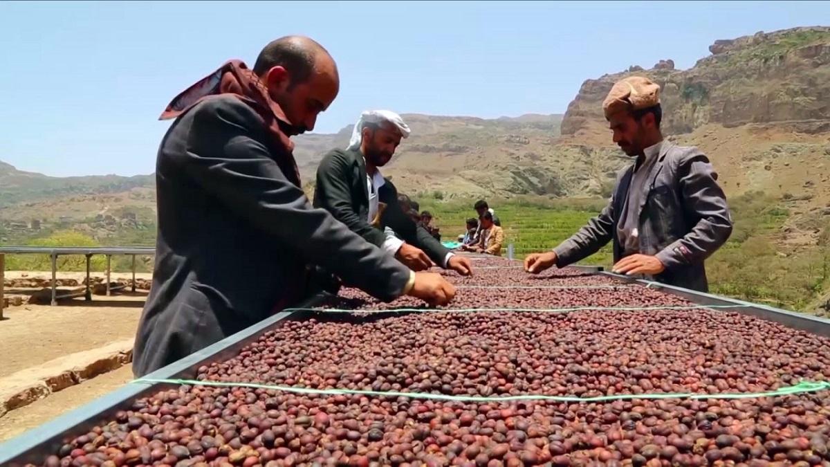 إنعاش إنتاج البنّ يُوَفِّر لإقتصاد اليمن دفعة قوية وسط الصراع الجاري