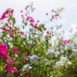 tinos wild flowers