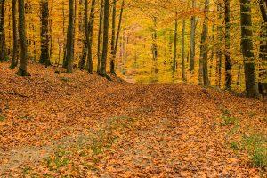 gul-skog