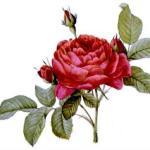 God's rosebud