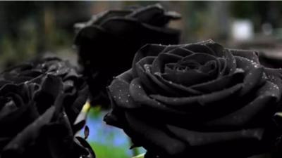 svarte roser