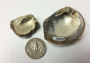 Imagen de fósiles de conchas de bivalvos junto a una moneda de 25 centavos de dolar.  Crédito: Sierra V. Petersen