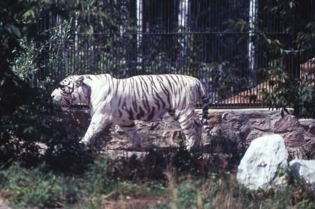 Sibirski tigar na +28 celziusa