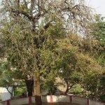 Chitra Nakshatra Tree Bel