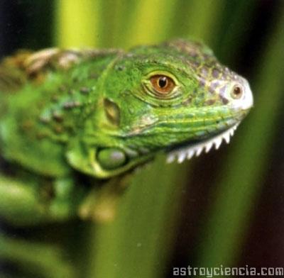 Iguana verde del clima subtropical