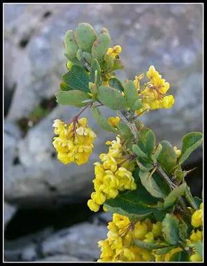 Berberis vulgaris subsp. cantabrica