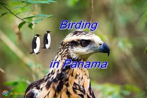 Birding in Panama
