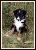 Goochland English Shepherds