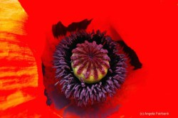 [Poppy photo copyright Angela Fairbank]