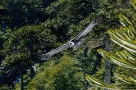 Andean Condor (Vultur gryphus) in flight between Araucaria trees, Conguillio