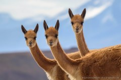 Three curious vicunas looking at the camera, Altiplano Chile