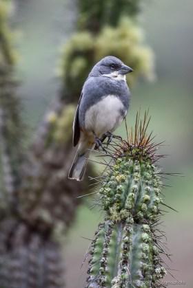 Common Diuca-Finch (Diuca diuca) perched on a cactus of the coastal Atacama desert