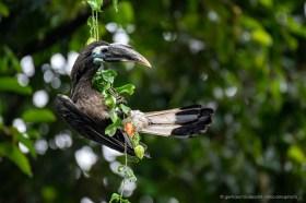 Juvenile bushy-crested hornbill (Anorrhinus galeritus) feeding on fruit.