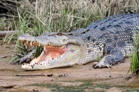 Large saltwater crocodile (Crocodylus porosus) with open jaws, Kinabatang wetlands, Borneo