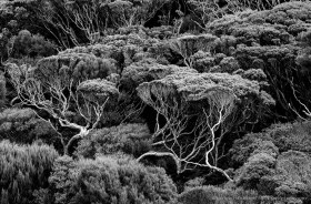 Black and White: Sub antarctic forest on Auckland Island with windswept grass trees and rata trees